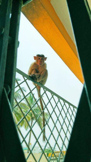 Augen-Screening mit umgerüsteten Smartphones in Indien: Ein wilder Affe, der mit seiner Horde die als Screening-Camp genutzte Schule okkupiert hat, beobachtet das Geschehen neugierig; © privat